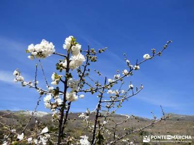 Cerezos en flor en el Valle del Jerte - Crecimiento flor cerezo;rutas rascafria viajar solo